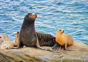 La Jolla Seals Photo